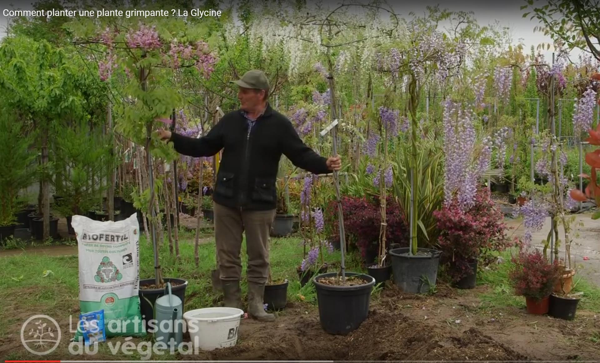 Comment planter une plante grimpante exemple de la glycine for Jardin 3 rivieres
